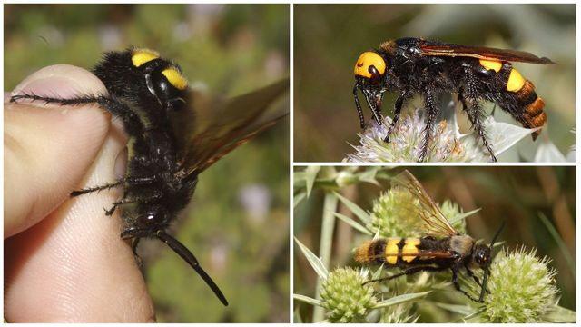 О видах ос, разновидности: черная, большая, дорожная, броненосная, дикая, сколия