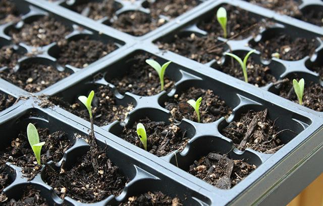 О посадке и выращивании календулы в открытом грунте: как ухаживать