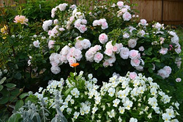 О розе аспирин (aspirin): описание и характеристики сорта почвопокровной розы
