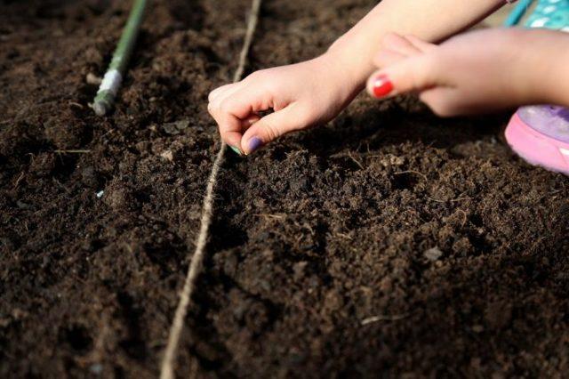О посадке пекинской капусты: правильное выращивание из семян, сроки