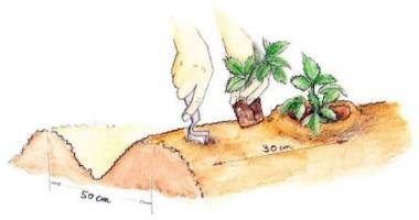 О клубнике максим: описание и характеристики сорта, посадка, уход, выращивание