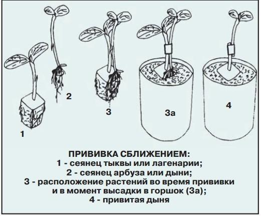 Как привить дыню на тыкву: инструкция прививки на лагенарию и кабачок