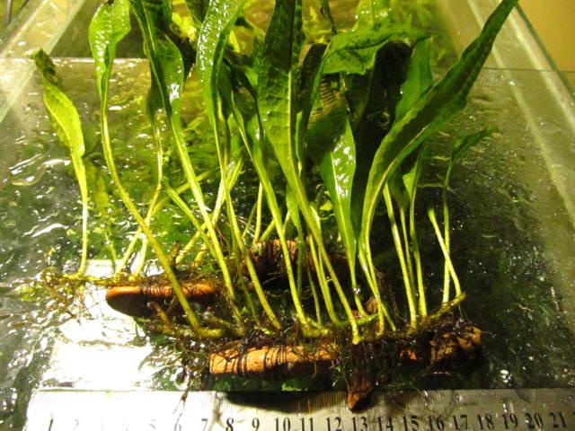 О папоротнике таиландском: описание сорта, как посадить и ухаживать за растением