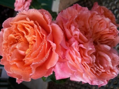 О розе emilien guillot: описание и характеристики сорта, уход и выращивание