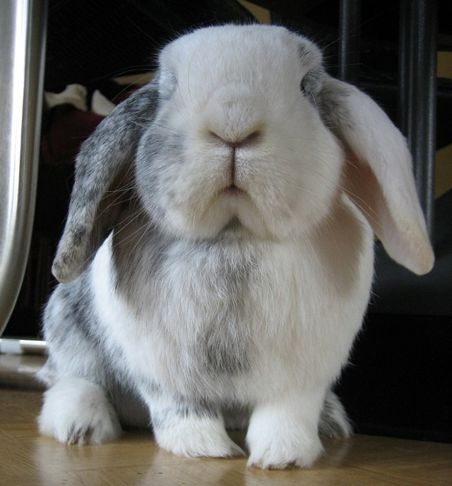 О вислоухом кролике баране: уход и содержание декоративного карликового кролика