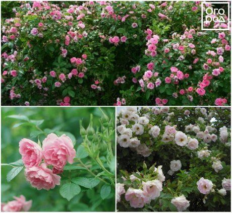 О плетистой розе: описание и характеристики видов и сортов культуры