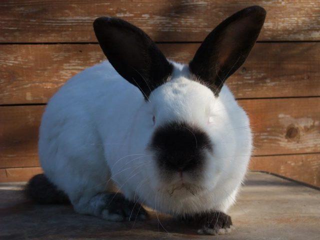 О калифорнийском кролике: описание и характеристика породы, выращивание кролика