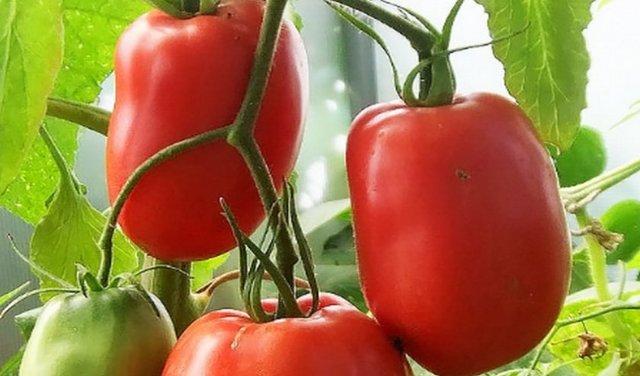 Мичуринские томаты: описание сорта, характеристики помидоров, посев