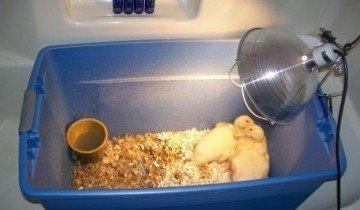 О кормлении диких утят в домашних условиях: чем выкормить и как вырастить утенка