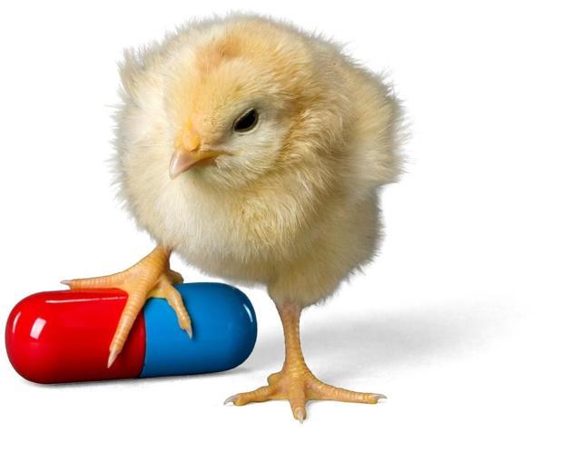 О птичьем гриппе у кур, бройлеров, цыплят: симптомы и лечение заболевания