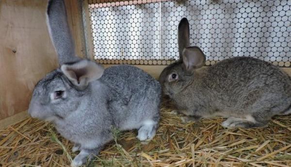 О перхоти у кролика: выпадает шерсть на спине, кролики лысеют, как лечить