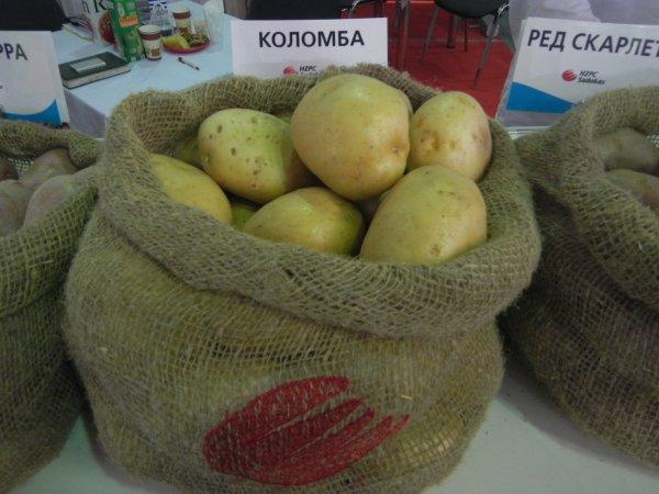Коломбо: описание семенного сорта картофеля, характеристики, агротехника