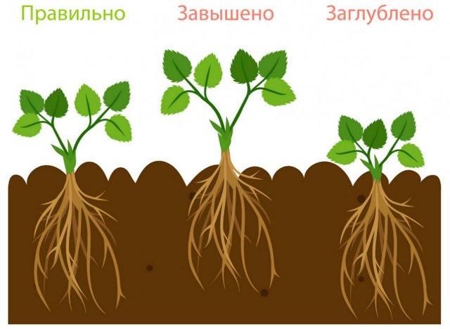 О землянике максим: описание и характеристики сорта, посадка, уход, выращивание