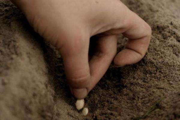 О кабачке грибовский: описание и характеристики сорта, посадка и уход