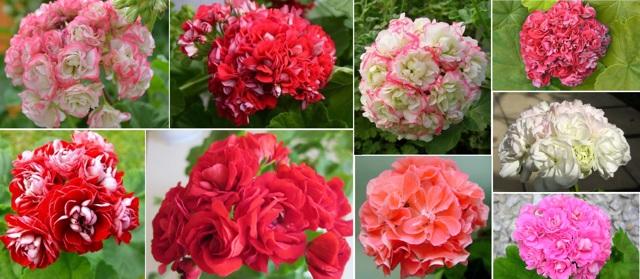 О пеларгонии розебудной (описание сортов, укоренение, выращивание из семян)