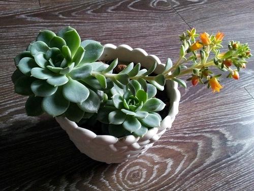 О посадке и уходе за каменной розой в домашних условиях и открытом грунте