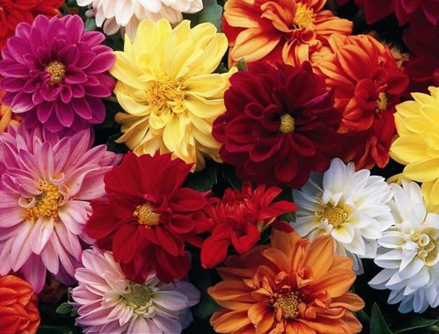О георгинах: как выглядят цветы, описание, характеристики разновидностей