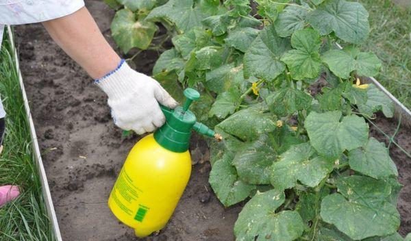 О болезнях рассады огурцов: почему желтеют и сохнут листья, подкормка, пересадка