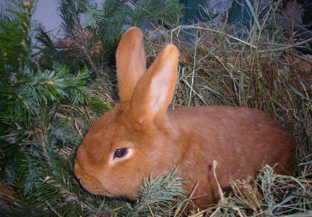 О новозеландских кроликах: красная и белая порода, характеристика и описание