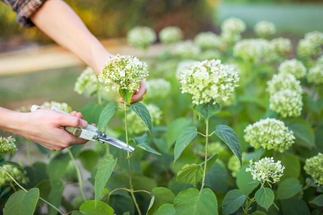 О посадке и выращивании гортензии в сибири: как посадить в открытый грунт