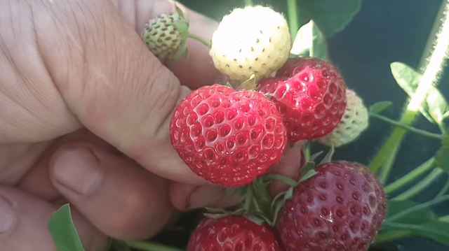 О клубнике мице шиндлер: описание сорта, агротехника посадки и выращивания