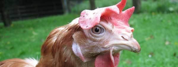 О симптомах и лечении болезни ньюкасла у кур и цыплят в домашних условиях