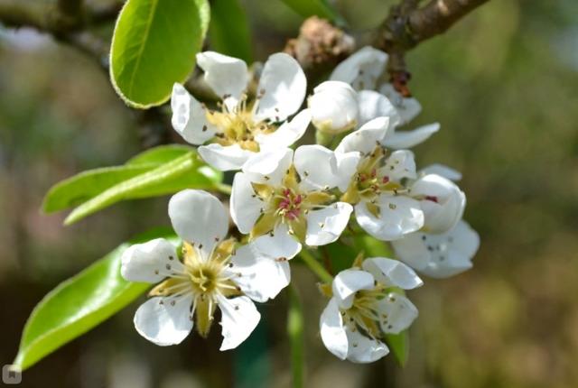 О груше видная: описание сорта, особенности опыления, агротехника выращивания