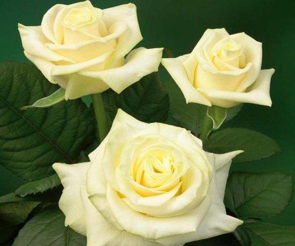 О розе пинк: описание и характеристики сортов, агротехника выращивания