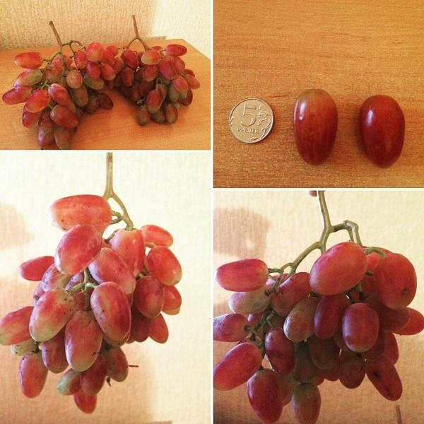 О винограде юбилей новочеркасска: описание и характеристики сорта, посадка и уход