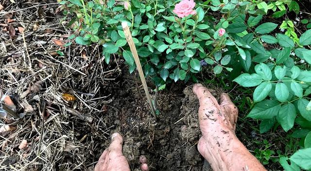 О подкормке роз в июне для пышного цветения в саду: чем и как правильно удобрять