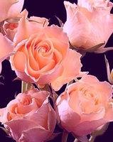 О розе свит (sweet): описание и характеристики сортов adeline, dream, juliet