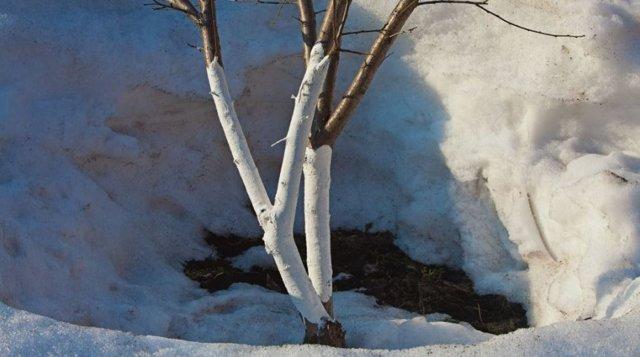 О побелке яблони весной: чем красить ствол дерева от болезней и вредителей