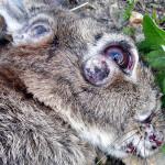 О миксоматозе у кролика: симптомы, чем и как лечить в домашних условиях