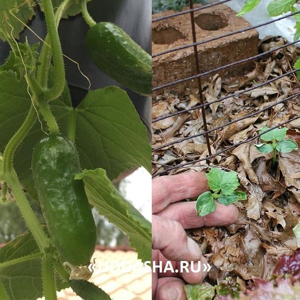 О пересадке огурцов в открытый грунт: как правильно пересадить рассаду, выращивание