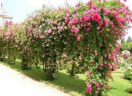 О плетистой розе: посадка и уход в открытом грунте, ландшафтный дизайн
