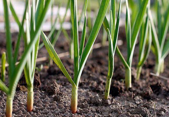 О посадке цукини, выращивании и уходе в открытом грунте, рассада из семян
