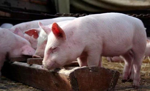 О поросятах: плохо едят и растут, что делать, не набирают вес, причина