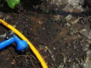 О помете для клубники (курином и птичьем): как удобрять, подкармливать весной