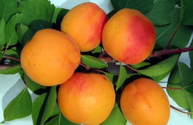 О лучших сортах разновидностей абрикоса: описание, посадка и уход