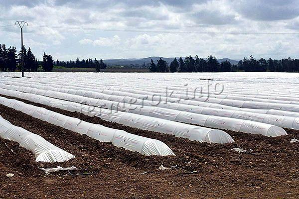 О выращивании дыни в подмосковье в открытом грунте: агротехника, сорта