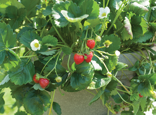 О клубнике элан: описание сорта, агротехника посадки и выращивания