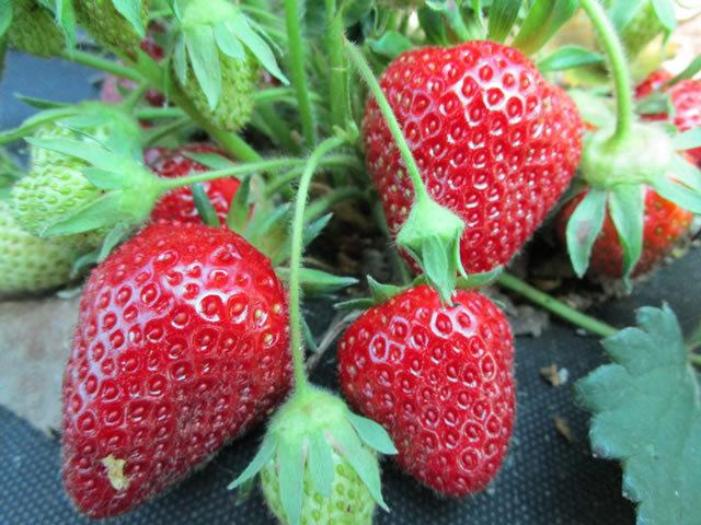 О клубнике царица: описание и характеристики сорта, посадка, уход, выращивание