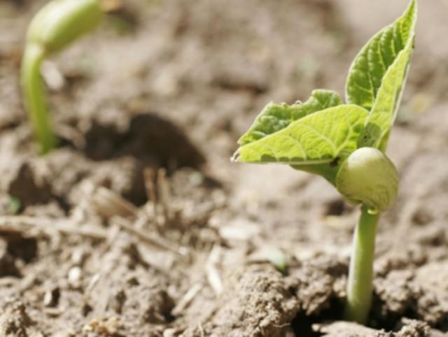 О посадке фасоли в открытый грунт и правильном уходе, агротехника выращивания