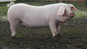 О породе свиней похожей на барана: описание, характеристики, особенности
