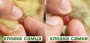 О том, как определять пол суточного цыпленка и отличать курочку от петушка