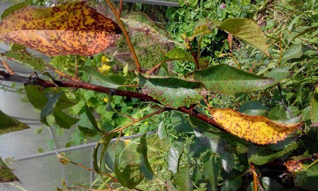 О коккомикозе вишни и мерах борьбы: лечение монилиоза, устойчивые сорта