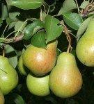 О груше лада: описание и характеристики сорта, посадка, уход, выращивание