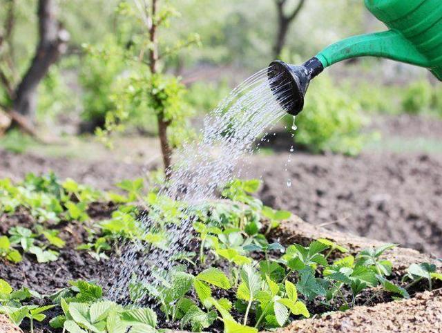 О клубнике рубиновый кулон: описание сорта, агротехника посадки и выращивания
