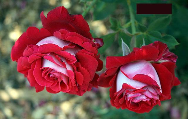 О мульчировании роз: чем можно замульчировать и как правильно это делать