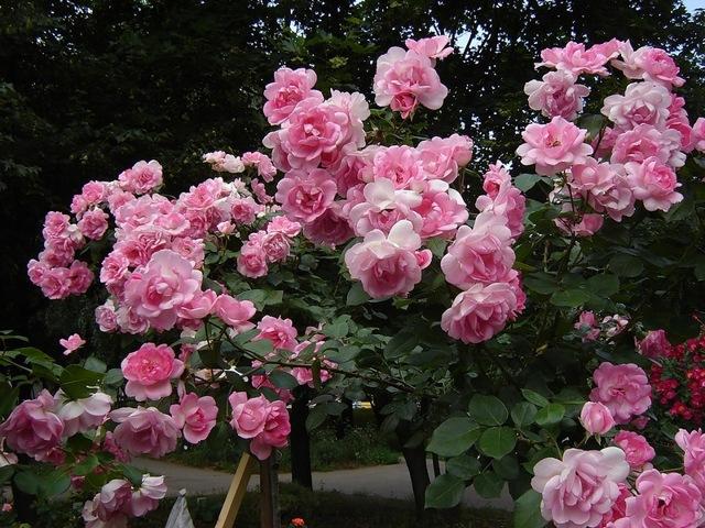 О полиантовой розе: описание и характеристики сортов, уход и выращивание